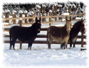 Our Jennys - Breeding Donkeys (all Miniature Mediterranean Donkeys)