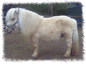 Surrey Stud Miniature Shetland Ponies Stud For Hire