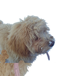 Labradoodles - Australian Miniature Labradoodles for Sale from Weybridge Surrey Dog Breeders