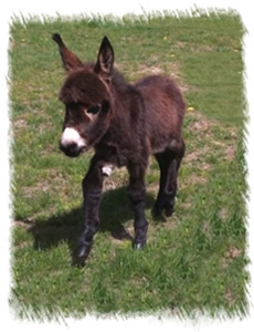 Miniature Donkey Maddie bred at our Stud near Weybridge Surrey
