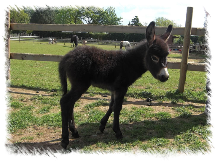 Miniature Donkeys - Merlin at our Donkey stud near Weybridge Surrey