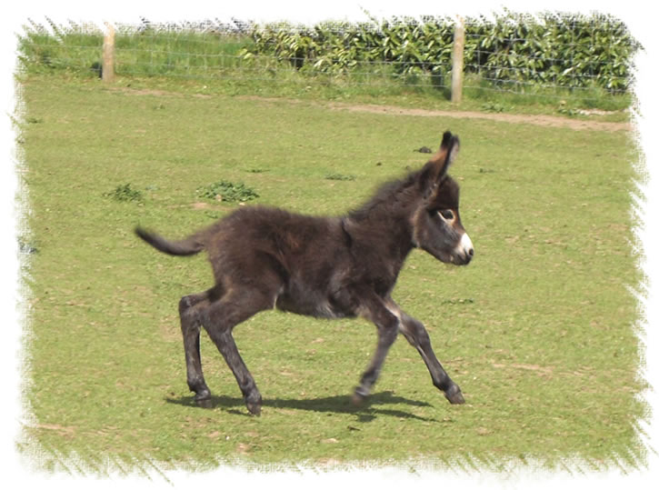 Donkey Foal Merlin - Breed: Miniature Mediterranean Donkeys at the stud of Surrey Family Pets, near Weybridge Surrey