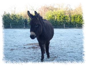 Breeding Jenny Oakley - Breed: Miniature Mediterranean Donkey at the stud of Surrey Family Pets, near Weybridge Surrey