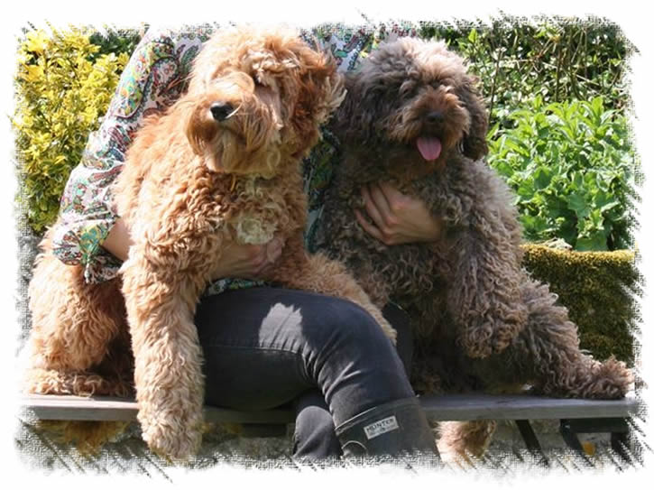 Australian Miniature Labradoodles - Parents of our Puppies - We are members of the Labradoodle Club of Great Britain