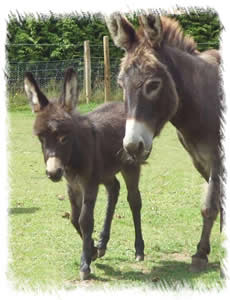 Donkey Breeders Surrey: Breeding Jenny Star with foal